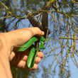 Pruning-shears, curtailment of the branches — Stock Photo