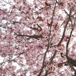 Stock Photo: Almond Tree in Blossom