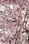 Almond Tree in Blossom — Stock Photo