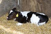 Single calf — Stock Photo