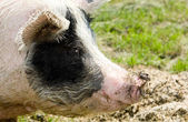 Portrait of a pig — Stock Photo