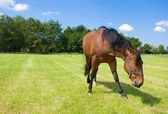 Single horse in the field — Stockfoto
