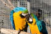 Two loving parrots — Stock Photo