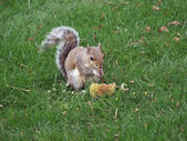 Squirrel eating — Stock Photo