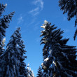 Pine trees covered with snow on a cold winterday — Stock Photo