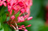 Ixora and bee IV — Stock Photo