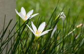 Zaperanthus candida II — Zdjęcie stockowe