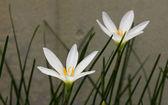 Zaperanthus candida — Zdjęcie stockowe