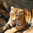 Постер, плакат: Two tigers in a zoo China Dalian