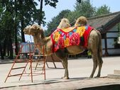 Camel in China — Stock Photo