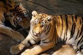 Two tigers in a zoo. China. Dalian — Stock Photo