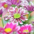 Chrysanthemum — Foto de Stock
