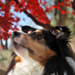 Sheltie Gazing Up in Fall Background - Stock Photo