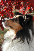Tricolor Sheltie with fall background — Stock Photo