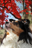 Sheltie Gazing Up in Fall Background — Stock Photo