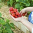 Picking  of fresh organic  strawberry in the field — Stockfoto