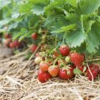 Closeup of fresh organic strawberries growing on the vine — Stock fotografie