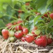 Closeup of fresh organic strawberries growing on the vine — ストック写真