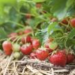 closeup frische bio erdbeeren wachsen auf reben — Stockfoto