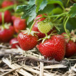 Closeup of fresh organic strawberries growing on the vine — Stock Photo #4149042