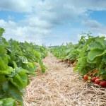 frische bio erdbeeren wachsen auf reben — Stockfoto