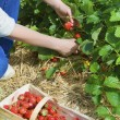 Picking  of fresh organic  strawberry in the field — 图库照片