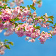 Blossom cherry tree — Stock Photo #4149075