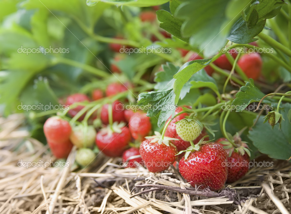 Closeup of fresh organic strawberries growing on the vine  Stock Photo #4149029