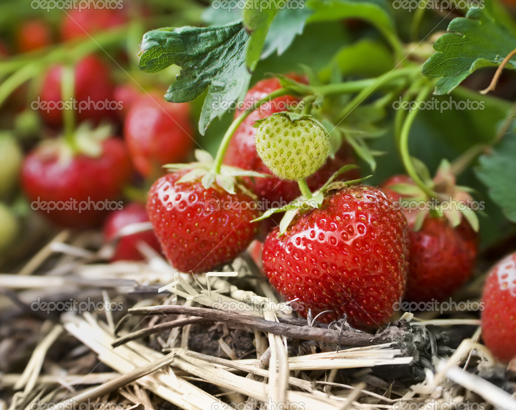 Closeup of fresh organic strawberries growing on the vine  Stock Photo #4149042