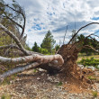 Stock Photo: A fallen tree storm