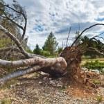 A fallen tree storm — Stock Photo