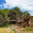 A fallen tree storm - Stock Photo