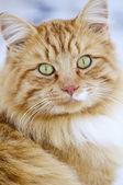 портрет кошки — Стоковое фото