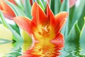 Tulipán naranja — Foto de Stock
