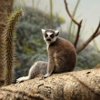 Lemur sitting - Stock Photo