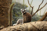 Lemur sitting — Foto Stock