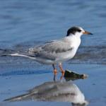 Arctic Tern Sterna paradisaea — Stock Photo #4582671