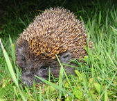 European hedgehog Erinaceus europaeus — Stock Photo