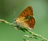 Scarce Copper Lycaena virgaureae — Stock Photo