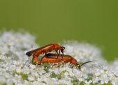 Red soldier beetles Rhagonycha fulva mating — Stock Photo
