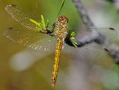 Sympetrum vulgatum tamaryškový vážka — Stock fotografie