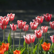 Pink tulips on a flowerbed — 图库照片