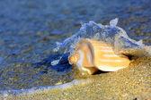 Seashell at the seashore — Stock Photo