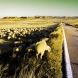Flock of sheep - Stock Photo