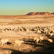 Flock of sheep — Stock Photo #4497555