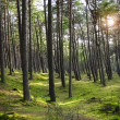 Green pine forest with ray of light — Stock Photo