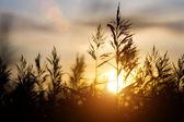 Sunset over sedge — Stock Photo