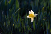 White Narcissus — Stock Photo