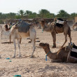 Camels — Stock Photo