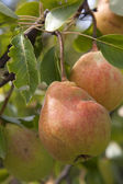 Pears on the tree — Stock Photo